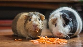Fetch Guinea Pigs